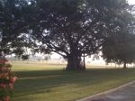 tree at ICRISAT campus