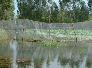 Nets are used to create distinct ponds for fish culture activities in flooded areas. These are then managed collectively by a group--an activity which needs to be monitored and evaluated to generate lessons for further activities.